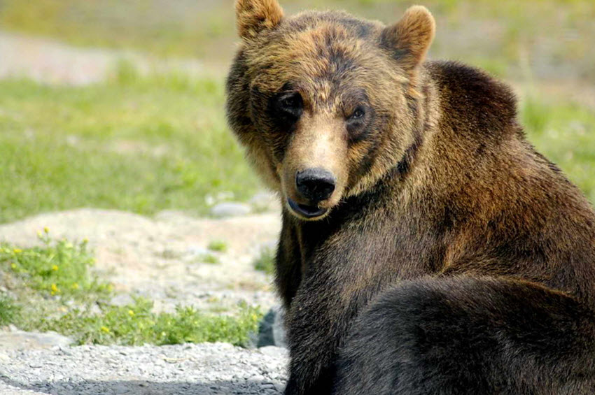 http://www.public-domain-image.com/free-images/fauna-animals/bears/brown-bear-ursus-arctos-big-bear/attachment/brown-bear-ursus-arctos-big-bear