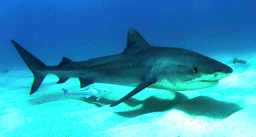 https://en.wikipedia.org/wiki/Tiger_shark#/media/File:Tigershark3.jpg
